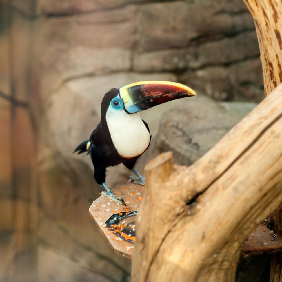 тукан в минском зоопарке